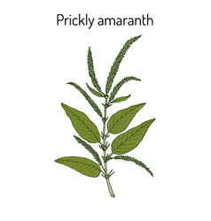 Prickly amaranth amaranthus spinosus or needle vector