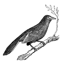 Mockingbird vintage engraving vector