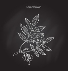 common ash tree branch vector image