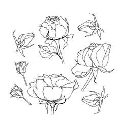 rose set liner on white vector image vector image
