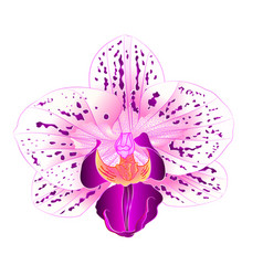 beautiful purple and white orchid phalaenopsis vector image