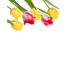 Tulips design template or background EPS 8 vector image vector image