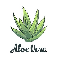 Natural aloe vera isolated object vector
