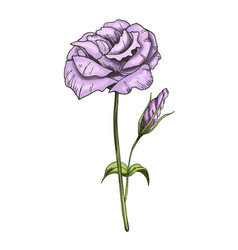Hand drawn eustoma garden flower isolated on vector