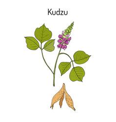 Kudzu pueraria montana medicinal plant vector