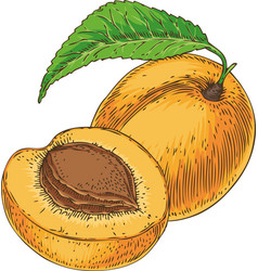 ripe apricot and its cross section vector image