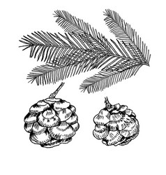 Conifers on white evergreen vector