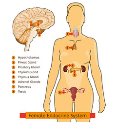 endocrine system woman vector image