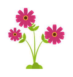 Pink cosmos flower spring icon vector