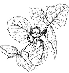 Hand drawn of hazelnut branch and leaves vector