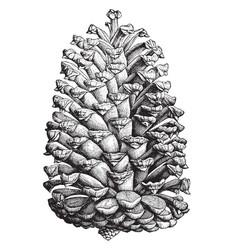 Cuban pine pinus cubensis griseb two-thirds vector