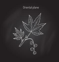 Occidental plane tree vector