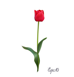 Red tulip isolated on white background close up vector