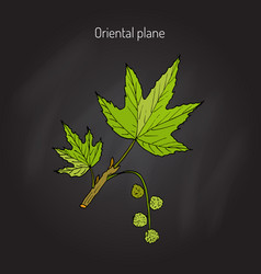 Occidental plane tree vector