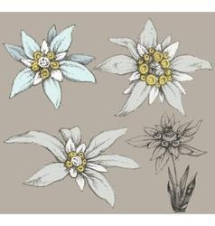 Edelweiss flower collection vector
