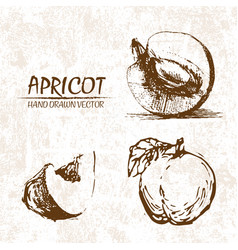 digital detailed apricot hand drawn vector image