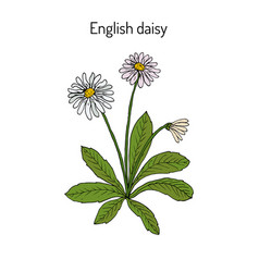 common english or lawn daisy bellis perennis vector image vector image