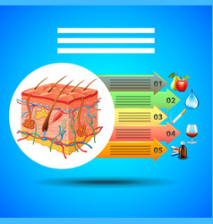 Infographics skin anatomy on blue background vector