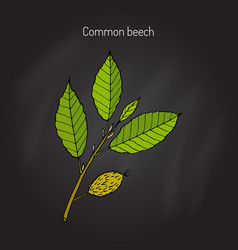Beech branch with leaves vector