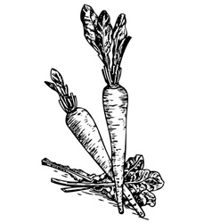 chicory vector image