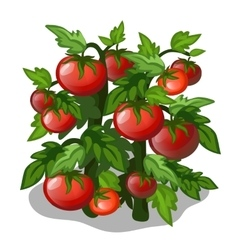 Planting and cultivation of tomato vector