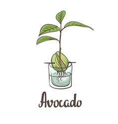 A seedling of avocado on a laboratory flask vector