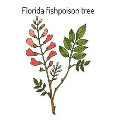 Florida fishpoison tree or jamaican dogwood or vector