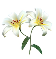 Holiday background with two white lilies vector