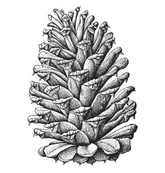 Loblolly pine pinus toeda l two-thirds natural vector
