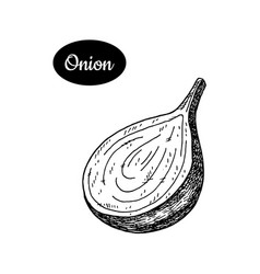 Hand drawn sketch style onion vector