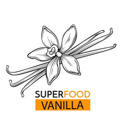 icon superfood vanilla vector image