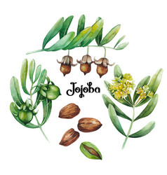 Watercolor jojoba plant vector