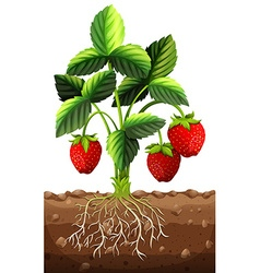 Fresh strawberry on the branch vector