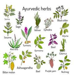 Ayurvedic herbs natural botanical set vector