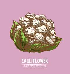 digital detailed color cauliflower hand vector image vector image