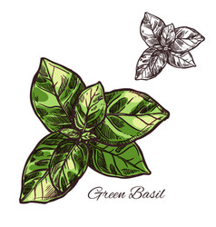 green basil seasoning sketch plant icon vector image vector image