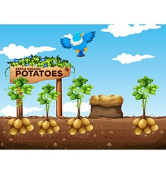 Scene of potatoes farm vector