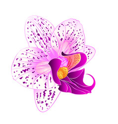 purple and white orchid phalaenopsis vector image vector image