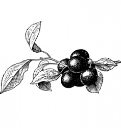 Plums prunus insititia vector