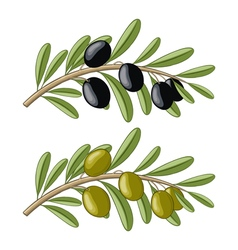 Two olive branches with black and green fruits vector