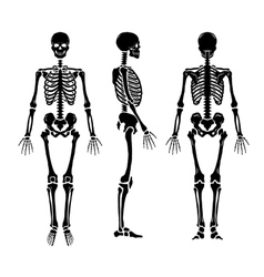 Anatomical human skeleton in three positions vector image