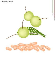 Fresh indian gooseberry with vitamin c and mineral vector