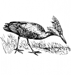 Scopus umbretta hamerkop vector image