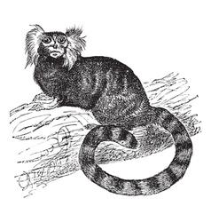 Common marmoset vintage engraving vector image