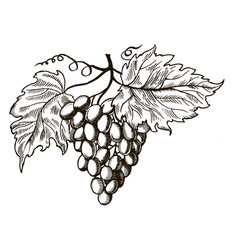 grapes with leaves engraving vector image vector image
