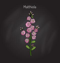 matthiola iincana flower vector image