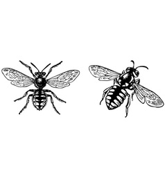 bug anthidium manicatum vector image vector image