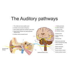 Auditory system education info graphic vector