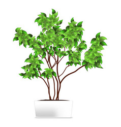spotted plant ficus pipal in a white pot vector image