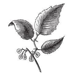 Slippery elm vintage engraving vector